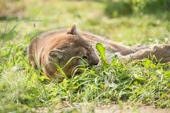 Kuguar w pola zdjęcia stock