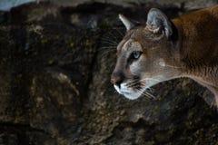 Kuguarów oczy Obraz Royalty Free