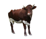 Kuh über Weiß Stockfotografie
