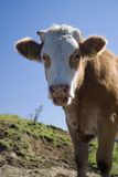 Kuh. A lucky cow in the alps Royalty Free Stock Photos