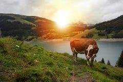 Kuh am Ackerland während des Frühlinges Lizenzfreie Stockfotografie