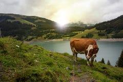 Kuh am Ackerland während des Frühlinges Stockfoto