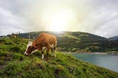 Kuh am Ackerland während des Frühlinges Lizenzfreie Stockfotos