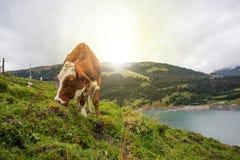 Kuh am Ackerland während des Frühlinges Stockfotos