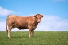 Kuh allein auf dem Gebiet stockfotos