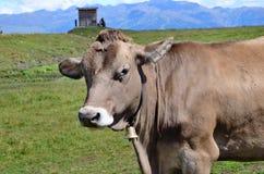 Kuh in Alpes Stockfotografie