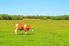 Kuh auf Bauernhof Stockfotografie