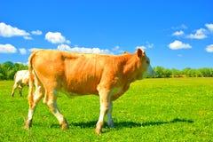 Kuh auf Bauernhof Stockbild