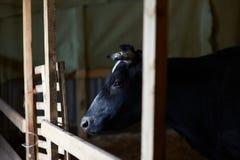 Kuh auf dem Bauernhof Stockfoto