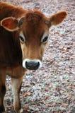 Kuh auf dem eisigen Gebiet lizenzfreies stockbild