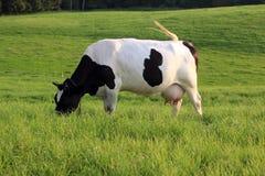 Kuh auf dem Feld Stockfotografie