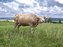 Kuh auf dem Feld Lizenzfreie Stockfotos