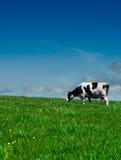 Kuh auf dem Gebiet Lizenzfreie Stockbilder