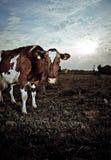 Kuh auf dem Gebiet Stockfotos