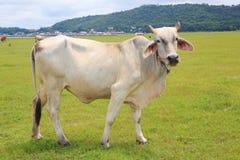 Kuh auf dem Gebiet Lizenzfreie Stockfotografie