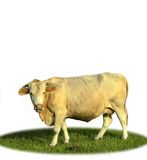 Kuh auf dem Gebiet Stockbild