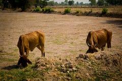Kuh auf dem Gebiet Stockfoto