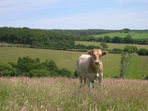 Kuh auf dem Gebiet lizenzfreies stockbild