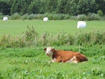 Kuh auf dem Gebiet, Litauen Stockfotos