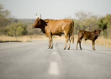 Kuh auf dem gemäßigten Stockbilder