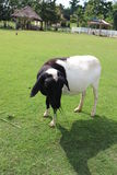 Kuh auf dem grünen Gebiet Stockfotos