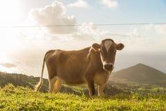 Kuh auf dem Gras mit Sonnenschein Stockfotografie