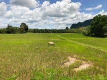 Kuh auf dem Reisgebiet Lizenzfreies Stockfoto
