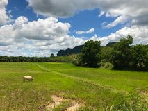 Kuh auf dem Reisgebiet Stockfotografie