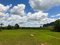 Kuh auf dem Reisgebiet Lizenzfreie Stockfotos