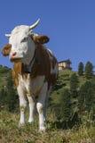 Kuh auf dem Schachen Stock Photo