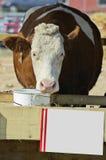Kuh auf dem Vieh angemessen Stockbild