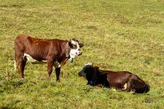 Kuh auf der grünen Wiese in den Alpen Stockfotos