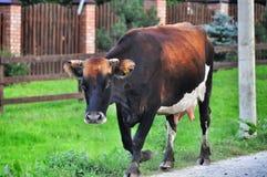Kuh auf der Straße Lizenzfreie Stockbilder
