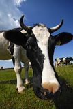 Kuh auf der Weide Stockfotografie