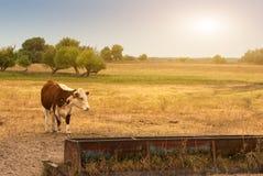 Kuh auf der Weide Lizenzfreie Stockfotografie