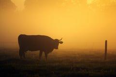 Kuh auf der Wiese. Stockfoto