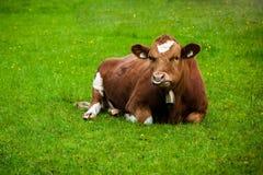 Kuh auf der Wiese Stockbild