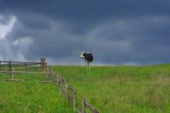 Kuh auf der Wiese Lizenzfreie Stockbilder