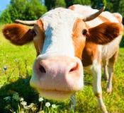 Kuh auf der Wiese am sonnigen Tag des Sommers Lizenzfreie Stockbilder