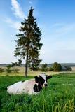 Kuh auf einem Ackerland Lizenzfreie Stockfotografie