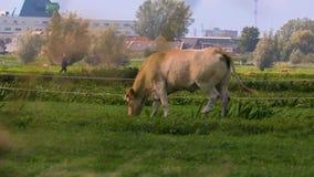 Kuh auf einem Bauernhof stock video
