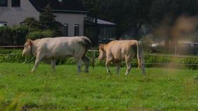Kuh auf einem Bauernhof stock footage