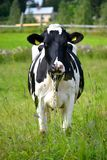 Kuh auf einem Feld Stockbild