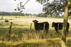 Kuh auf einem Gebiet Stockfoto