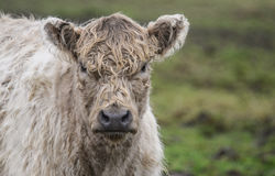 Kuh auf einem Gebiet Stockfotografie