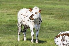Kuh auf einem Gebiet, auf Gras Kuh auf Weide draußen, agriculrure Normande-Rennzucht, von Normandie, Frankreich Stockfotografie