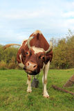 Kuh auf einem grünen Lichtstrahl Stockfotos
