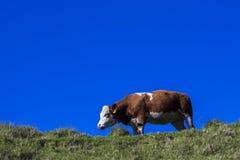 Kuh auf einem Hügel Lizenzfreies Stockbild