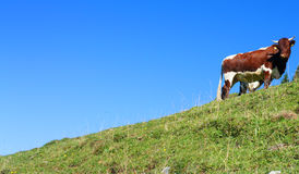 Kuh auf einem Hügel Lizenzfreie Stockfotografie