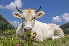 Kuh auf einer Alpenwiese in den Stubai-Alpen lizenzfreie stockfotografie